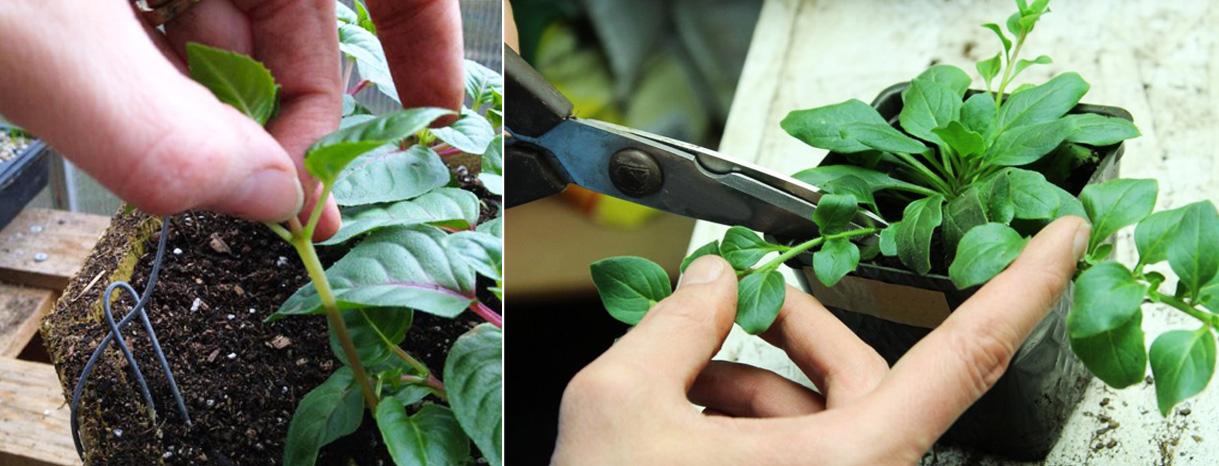 Секреты обильного цветения петуньи: подкормка и агротехника