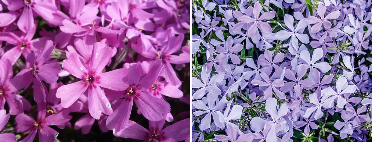 Садовое очарование – Флокс шиловидный: сортовые особенности и азы ландшафтного дизайна
