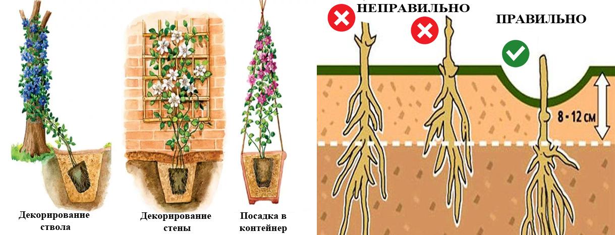 Как вырастить роскошный клематис: секреты ухода и популярные сорта