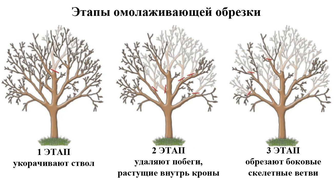 Как правильно обрезать деревья: сроки и нюансы формирования кроны