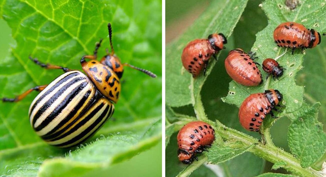 Секреты эффективной борьбы с колорадским жуком на приусадебном участке