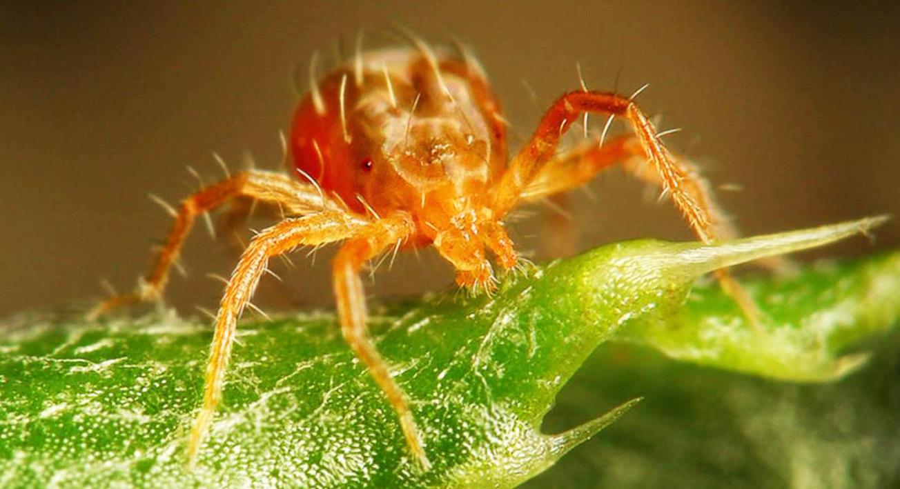 Когда паутинный клещ атакует: методы борьбы с вредителем в саду и дома