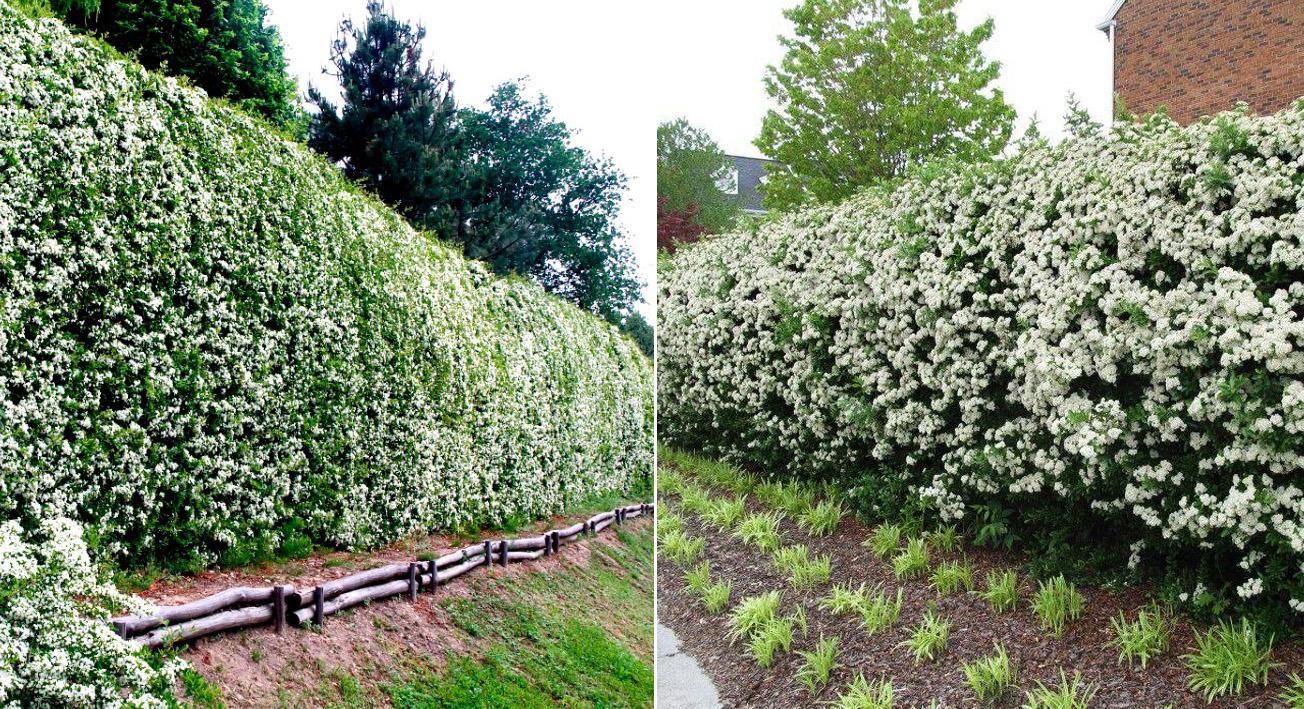 Как сделать в саду красивую и долговечную живую изгородь