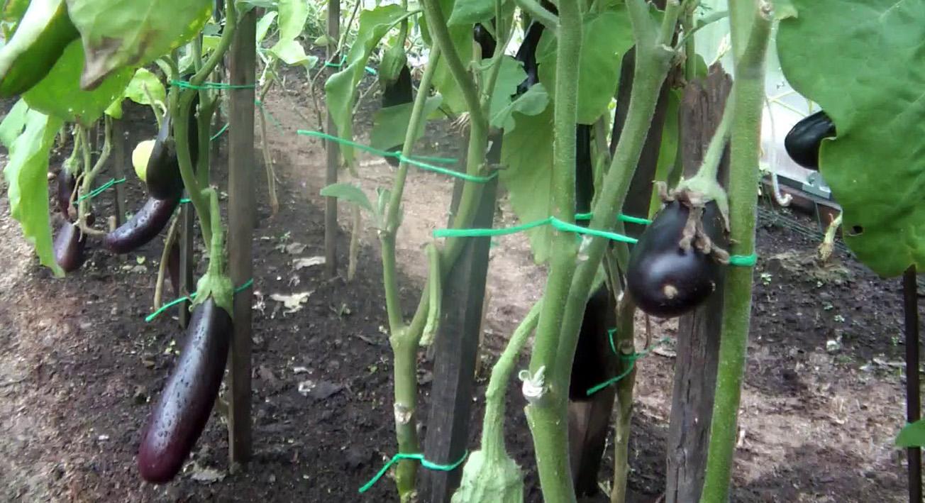 Уход за баклажанами в теплице: выращивание и меры борьбы с заболеваниями