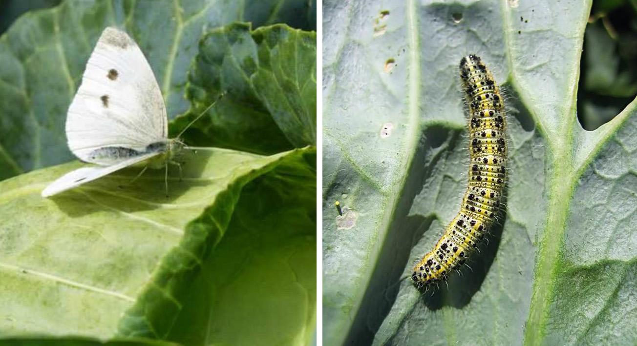 Какие вредители и болезни опасны для капусты и как с ними бороться