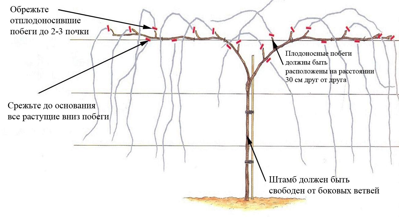 Как правильно формировать виноград осенью: сроки и схема обрезки
